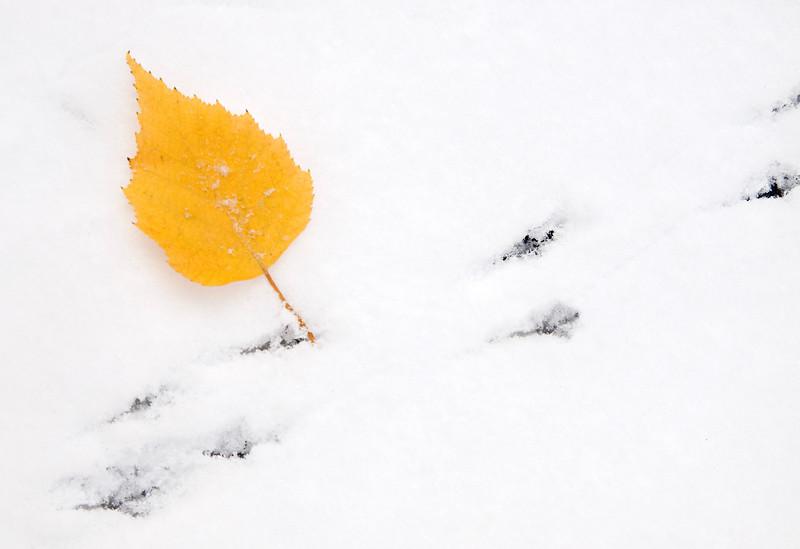 Birch Leaf in Fresh Snow