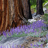 Incense Cedar with Lupines