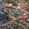 Early in October tens-of-thousands of Salmon make their way from Lake Tahoe up Taylor Creek to span.