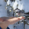 Chickadee on a Hand