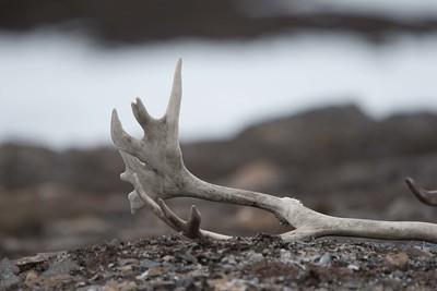 Reindeer antler. Photo Lisa M. Dellwo