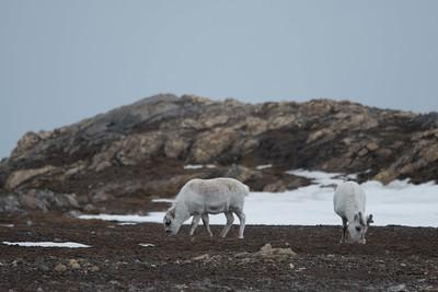 Reindeer. Photo Lisa M. Dellwo