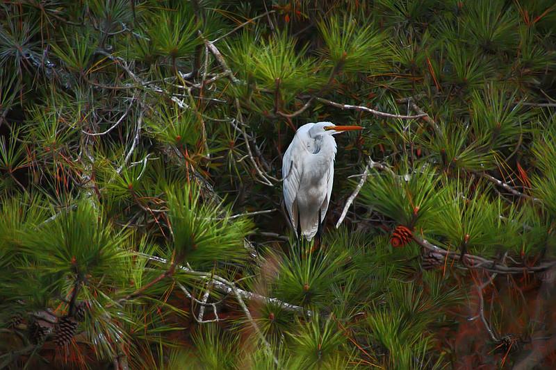 Great Egret .  Chincoteague Island, Virginia