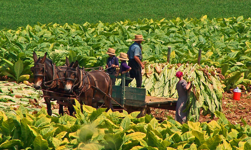 Amish Harvesting Tobacco .  Lancaster, Pennsylvania