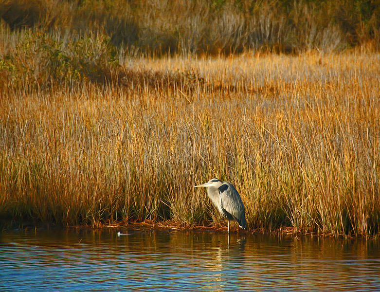 Tricolored Heron . Chincoteague Island, Virginia
