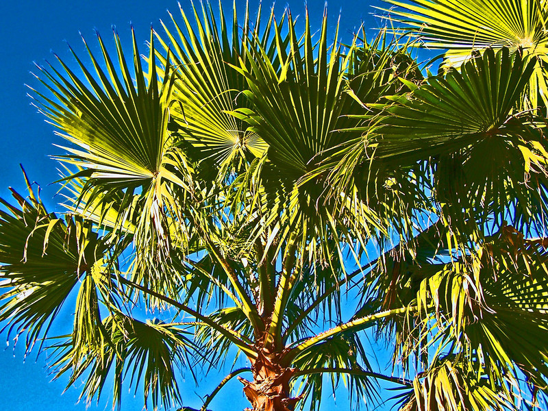 Palm Tree . Myrtle Beach, South Carolina