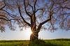 Cherry Blossom Sunburst  ©2018  Janelle Orth