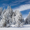 Snow-Covered Pines, Tahoe Meadow near Mt. Rose, NV