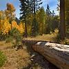 Aspens Near Taylor Creek