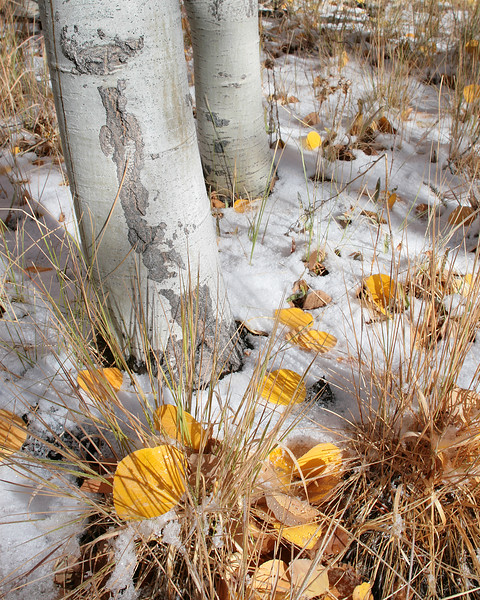 Early Snow beneath the Aspens