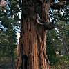 Scorched Burnt Cedar