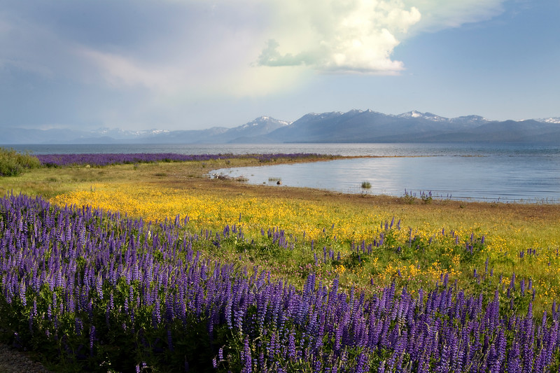Lupines and Monkey Flowers after a passing storm, Tahoe City, CA