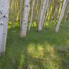 Aspen Grove in Morning Sunlight