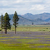 Meadow with Camus Lilles, Sierraville, CA