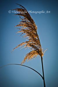 Golden Grasses in the light of a September sunset