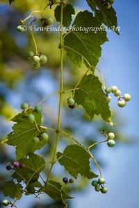 Grape vines at Windsor Castle Farm in Smithfield, VA