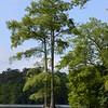 Bald Cypress in Stumpy Lake, Virginia Beach, VA