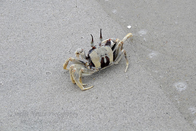 Saw a crab at the beach in Langkawi, Malaysia