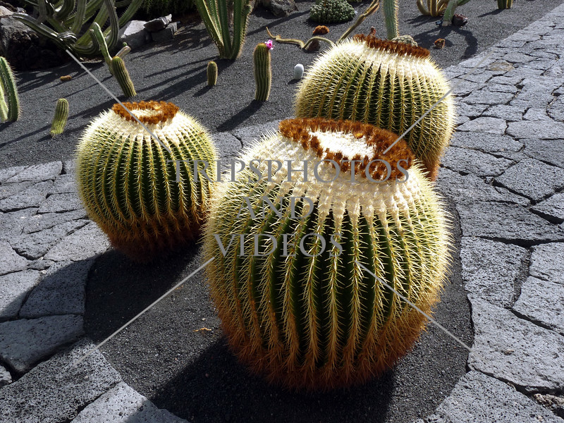 Cactus at Jardin de Cactus in Lanzarote, Canary Islands.
