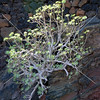 Plant grows out of volcanic rocks in Lanzarote, Canary Islands.