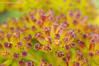 Detalle de lechuga de mar ( Astydamia latifolia)