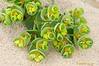 Euphorbia parallias