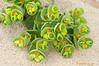 Euphorbia parallias