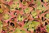 Barrilla (Mesembryanthemum crystallinum y M. nodiflrum)