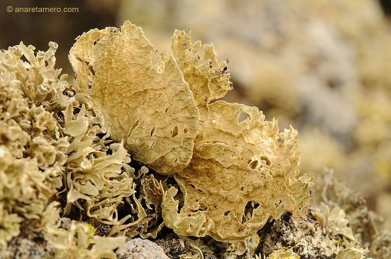 Líquenes sobre roca volcánica en el malpaís de La Corona  (<em>Ramalina canariensis</span></em>)