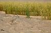 Avutarda, hubara canaria  (<em>Chlamydotis undulata fuertaventura</span></em>). Arenas blancas de El Jable y cortavientos en los cultivos de dunas de batatas.