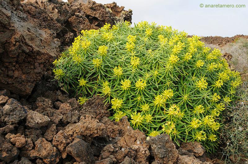 Tabaiba morisca (<em>Euphorbia regis-jubae</span></em>)