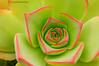 Bejeque (<em>Aeonium lancerottense</span></em>)