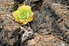 Bejeque creciendo en lavas cordadas (<em>Aeonium lancerottense</span></em>)