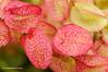 Mato  (<em>Salsola vermiculata</span></em>)
