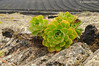 Bejeque sobre lava y cultivos de vid al fondo (<em>Aeonium lancerottense</span></em>)