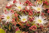 Barrilla (Mesembryanthemum crystallinum