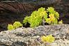 Bejeque sobre lava (<em>Aeonium lancerottense</span></em>)