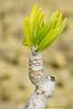 Verode( <em>Kleinia nerrifolia </span></em>)