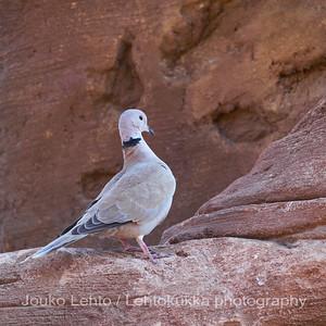 Saharanturturikyyhky - African Collared Dove (Streptopelia roseogrisea)