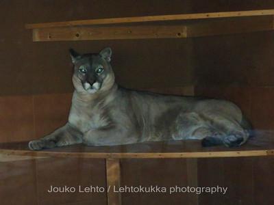 Puuma ( Felis concolor ) - Cougar