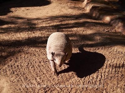 Kuusivyövyötiäinen (Euphractus sexcinctus) - Six-Banded Armadillo