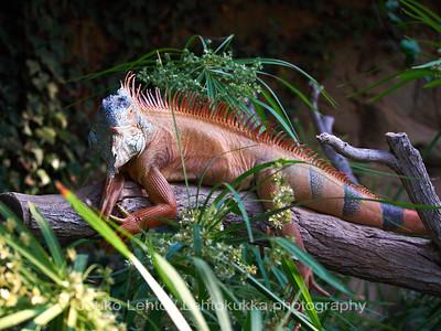 Iguaani - Iguana