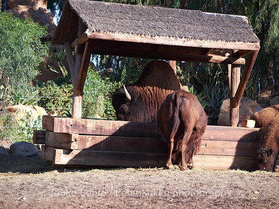 Biisoni - American Bison, Bison bison