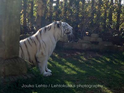Valkoinen tiikeri - White Tiger, Panthera tigris