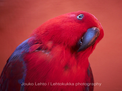 Papukaija - Parrot