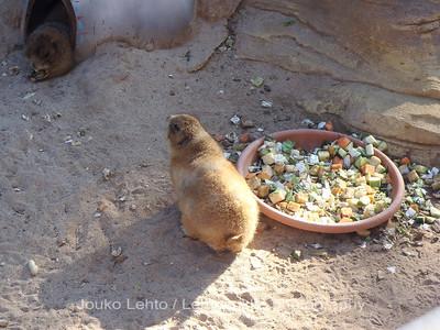 Preeriakoirat - Black-tailed Prairie Dog, Cynomys ludovicianus