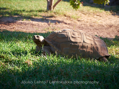 African Spurred Tortoise, Centrochelys sulcata