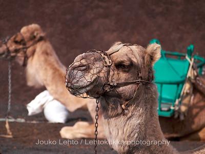 Camels at Timanfaya National Park, Lanzarote