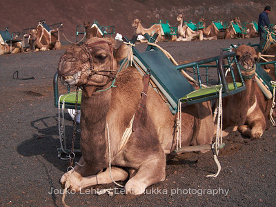 Camels at Timanfaya National Park, Lanzarote