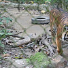 Female tigers saved from poachers